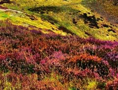 long-mynd-zoomed-sheep-very-very-long-bright_42