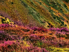 long-mynd-zoomed-sheep-very-very-long-bright_43