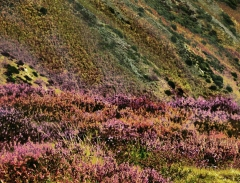 long-mynd-zoomed-sheep-very-very-long_43