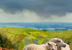 long-mynd-zoomed-sheep-hares_14