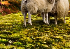 long-mynd-zoomed-sheep-hares_26
