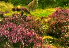 long-mynd-zoomed-sheep-hares_45