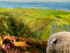 long-mynd-zoomed-sheep-very-very-long_18