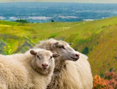 long-mynd-zoomed-sheep-very-very-long_19