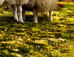 long-mynd-zoomed-sheep-very-very-long_36