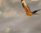 tmb000008_Wrekin_with_red_kites