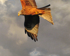 tmb000011_Wrekin_with_red_kites