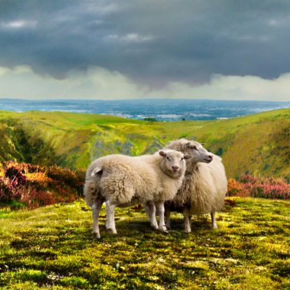 Long Mynd zoomed out - sheep - 7 foot 8 inches long